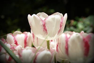 Photograph - Candy Cane Tulips by James Granberry
