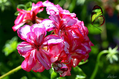 Photograph - Candy Striped Geranium by Diana Haronis
