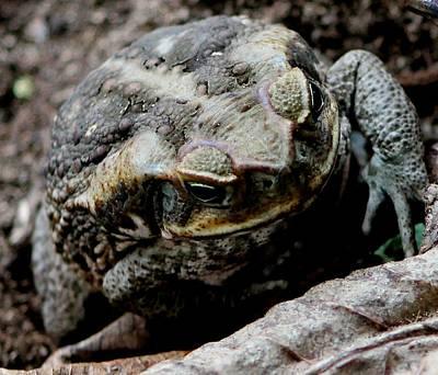 Photograph - Cane Toad by Elizabeth  Doran