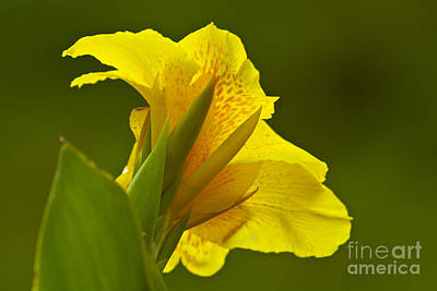 Canna Lily Photograph - Canna Lily by Heiko Koehrer-Wagner