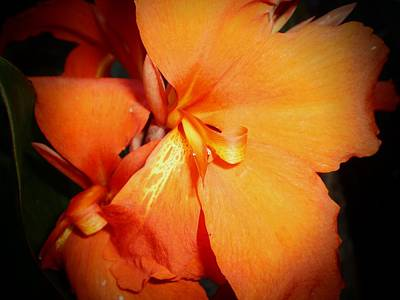 Canna Photograph - Canna Lily 'queen Charlotte' by D J Larsen