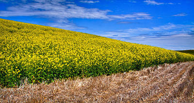 Rapeseed Photograph - Canola And Stubble by David Patterson