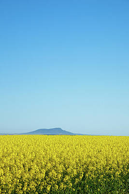 Canola Crops Flowers In Field Art Print by John White Photos