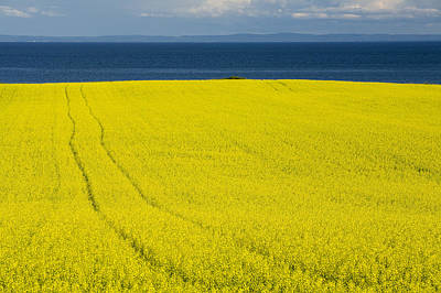 Yellow Photograph - Canola Field, Guernsey Cove, Prince by John Sylvester