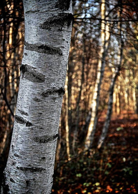 Birch Bark Photograph - Can't See The Forest For The Tree by Odd Jeppesen