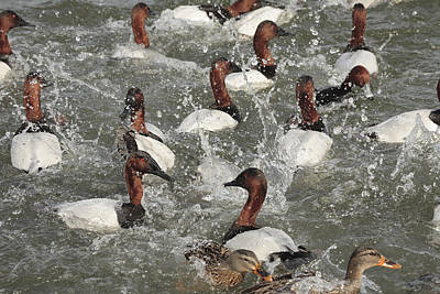 Frenzy Photograph - Canvasback Ducks In A Feeding Frenzy by George Grall