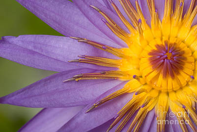 Photograph - Cape Blue Waterlily Nymphaea Capensis by Ted Kinsman