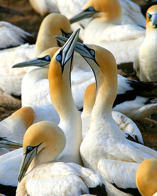 Cape Gannet Courtship Art Print