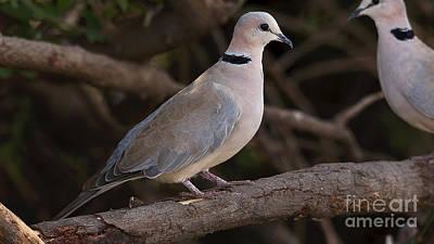 Photograph - Cape Turtle Dove by Mareko Marciniak
