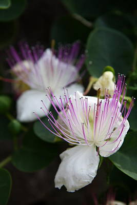 Photograph - Caper Flower I by Christiane Schulze Art And Photography