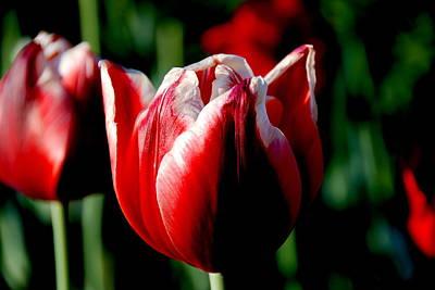 Capital Tulip Art Print by Christy Phillips