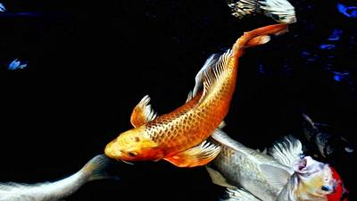 Captain Koi Art Print by Don Mann