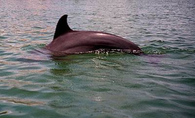 Photograph - Captiva Dolphin by Gary Smith