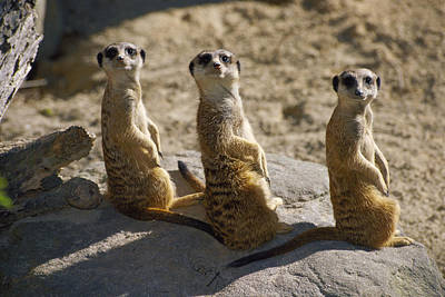 Meerkat Wall Art - Photograph - Captive Meerkats Suricata Suricata Look by Nicole Duplaix