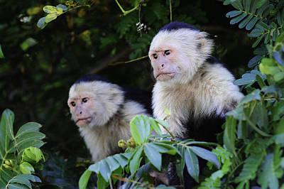 Photograph - Capuchin Monkey by Edward Kovalsky