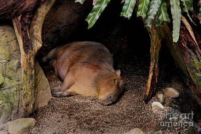Photograph - Capybara by Lee Dos Santos