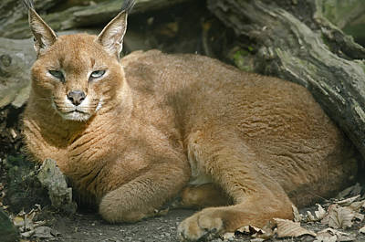 Photograph - Caracal by JT Lewis