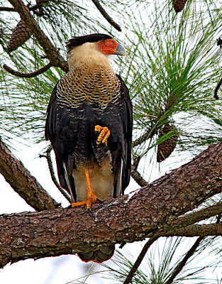 Photograph - Caracara In A Pine Tree by Ira Runyan