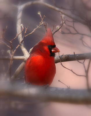Cardinal - Unafraid Art Print by Travis Truelove