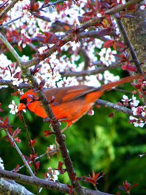 Photograph - Cardinal 2 by Judy Wanamaker