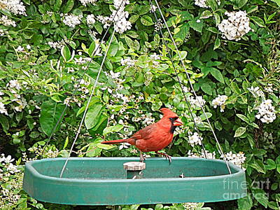 Photograph - Cardinal At Feeder by Renee Trenholm