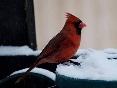 Photograph - Cardinal Awaits by Barry Doherty