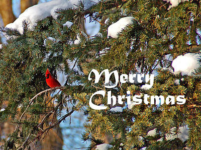 Photograph - Cardinal Christmas Card by Aimee L Maher ALM GALLERY