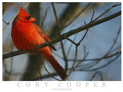 Photograph - Cardinal by Coby Cooper