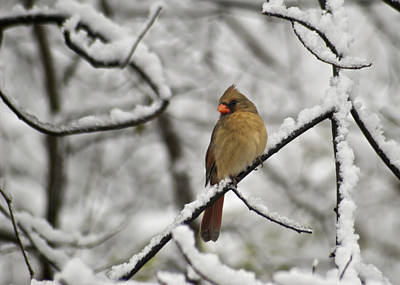 Cardinal Photograph - Cardinal Female 3652 by Michael Peychich