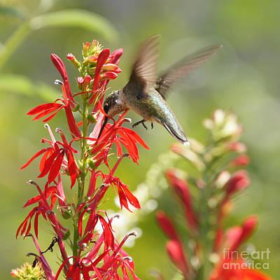 Cardinal Flower And Hummingbird 1 Art Print