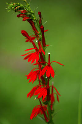 Photograph - Cardinal Flower by Emanuel Tanjala