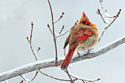 Photograph - Cardinal I The Snow  by Emmanuel Panagiotakis