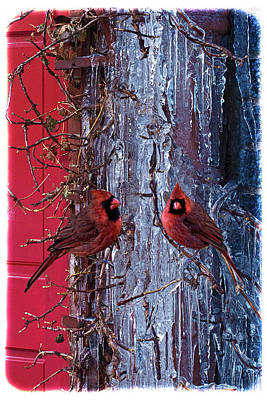Photograph - Cardinal Icicles by Chris Lord