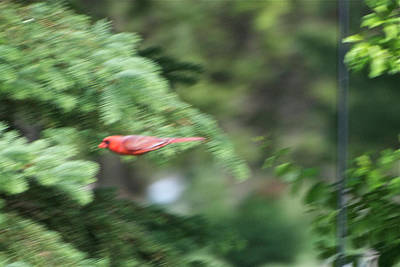 Art Print featuring the photograph Cardinal In Flight by Thomas Woolworth