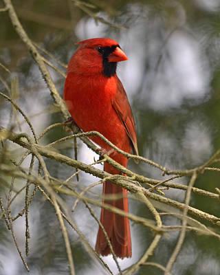 Cardinal In Spruce Art Print by Ann Bridges