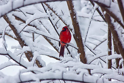 Cardinal In The Snow 2 Art Print by Barry Jones