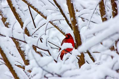 Cardinal In The Snow Art Print by Barry Jones