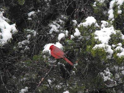 Cardinal In The Snow Art Print by Rebecca Cearley