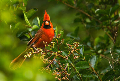 Photograph - Cardinal In The Tree by Dorothy Cunningham