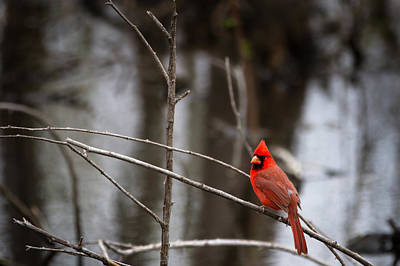 Photograph - Cardinal by Jason Smith