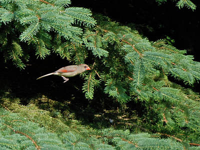 Art Print featuring the photograph Cardinal Just A Hop Away by Thomas Woolworth