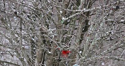 Photograph - Cardinal by Kume Bryant
