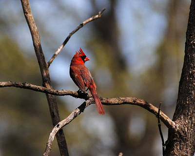 Photograph - Cardinal On A Branch by Jai Johnson
