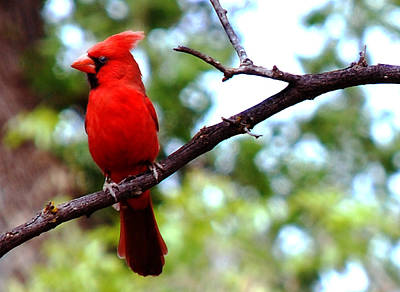 Photograph - Cardinal Red by Anthony Citro
