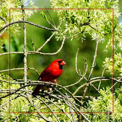 Photograph - Cardinal by Robert Clayton