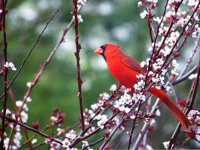 Photograph - Cardinal Spring by Judy Wanamaker