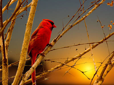 Cardinal Sunrise Art Print by Barry Jones