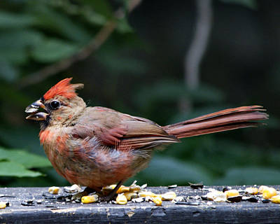 Photograph - Cardinal With Sunflower Seed by Barry Doherty