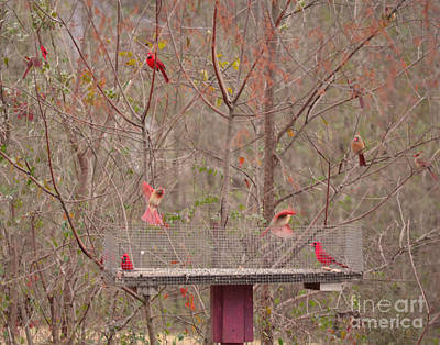 Photograph - Cardinals by Donna Brown