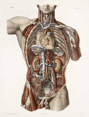 Nicolas Cage Photograph - Cardiovascular System, Historical Artwork by